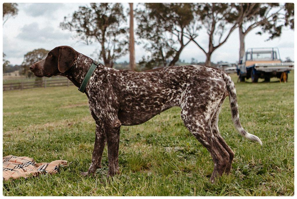 hunter-valley-dog-photo